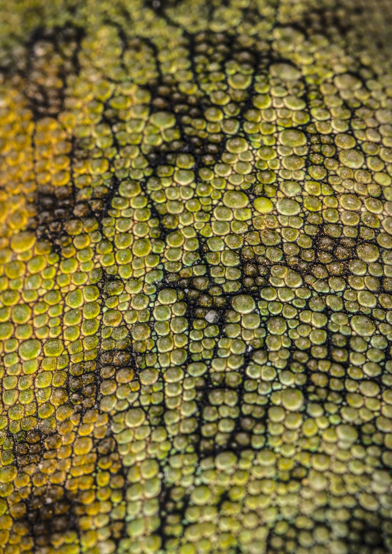 Johnstone's Three Horned Chameleon Skin II