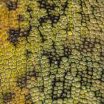 Johnston's Three Horned Chameleon Skin II