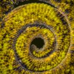 Johnston's Three Horned Chameleon Tail