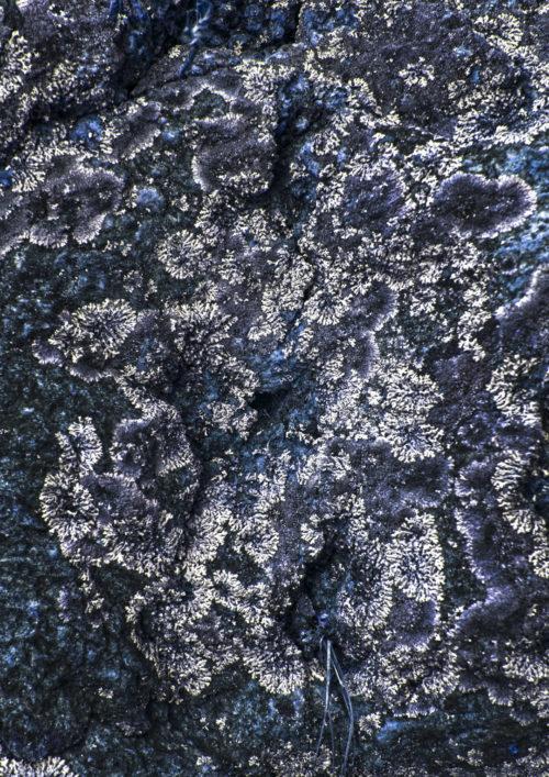 Kibale Forest Lichen I