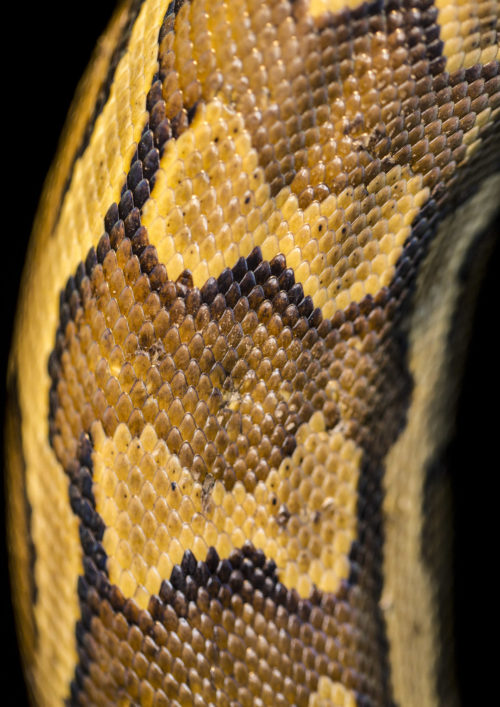 Python Skin