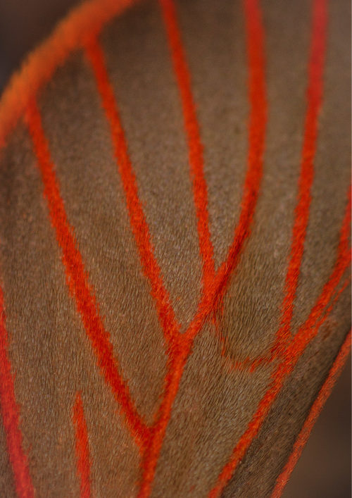 Red Veined Moth Wing