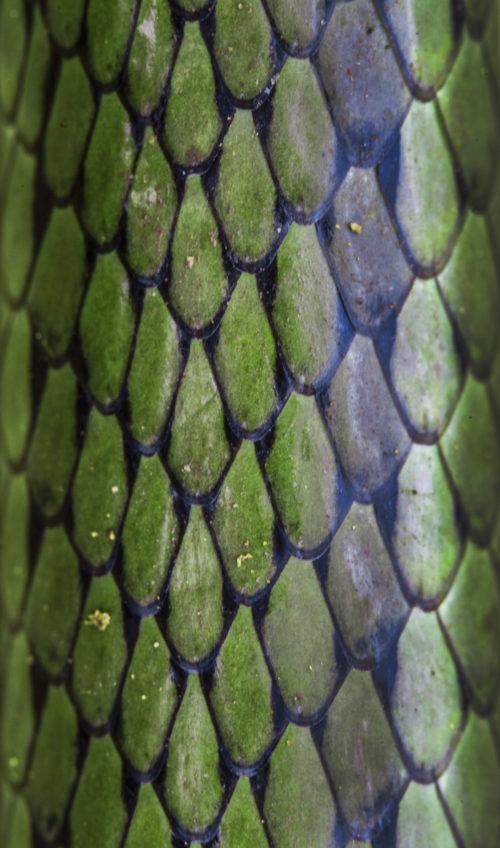 Side Stripped Sand Snake
