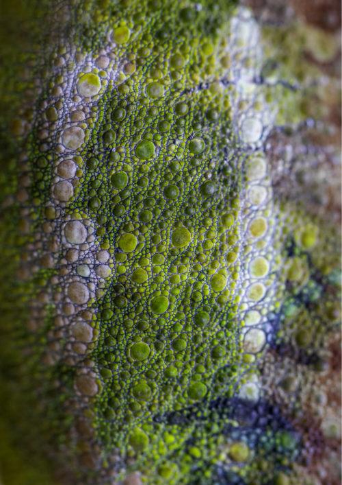 Von Hohnel's Chameleon Skin