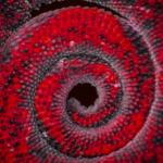 Johnston's Three Horned Chameleon Tail (Red)