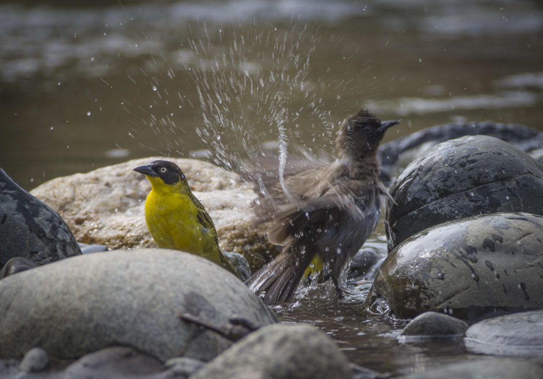 Baglafecht Weaver and Common Bulbul 1