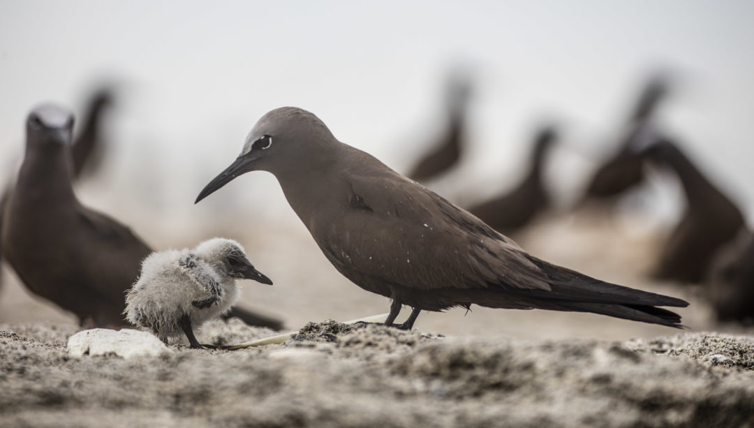 Brown Noddy With Chick 1