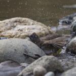 Common Bulbul (Bathing)