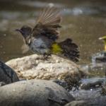 Common Bulbul and Female Black-headed Weaver