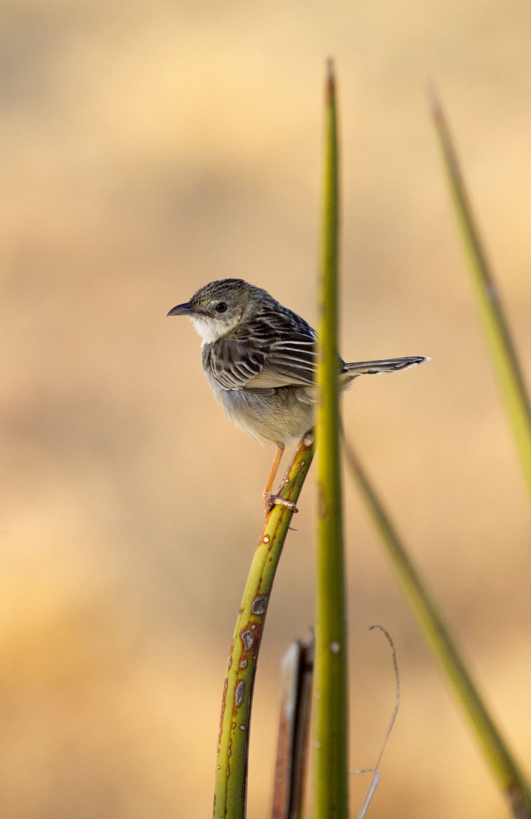 Croaking Cisticola 1