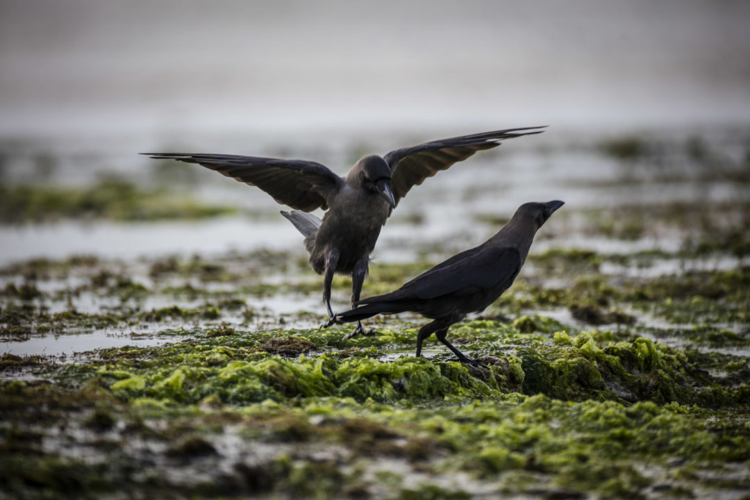 Indian Crows 1