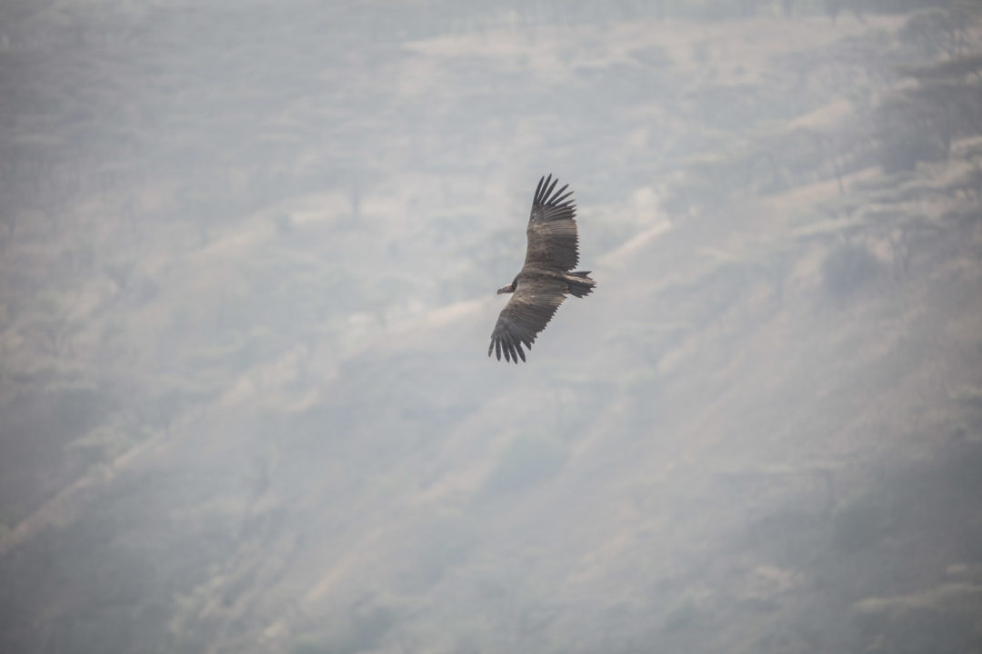 Lappet-Faced Vulture 1