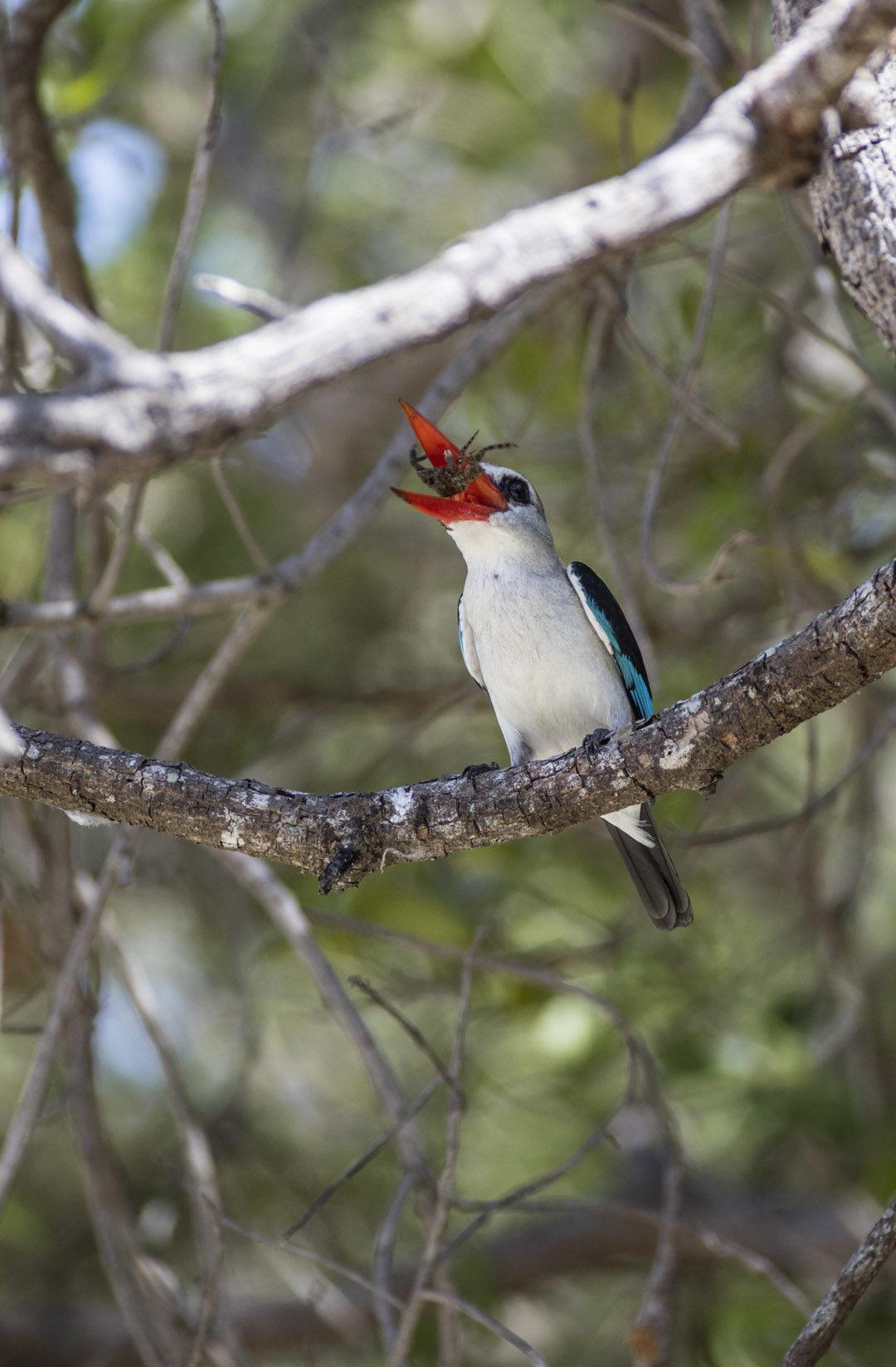 Mangrove Kingfisher 1