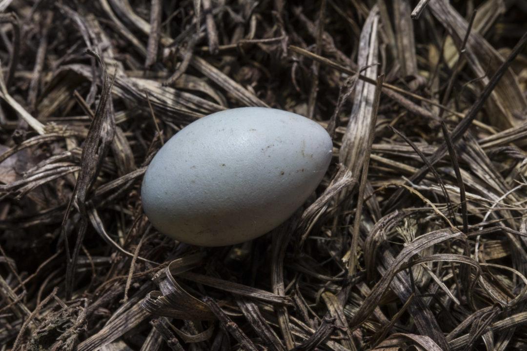 Masked Weaver's Egg 1