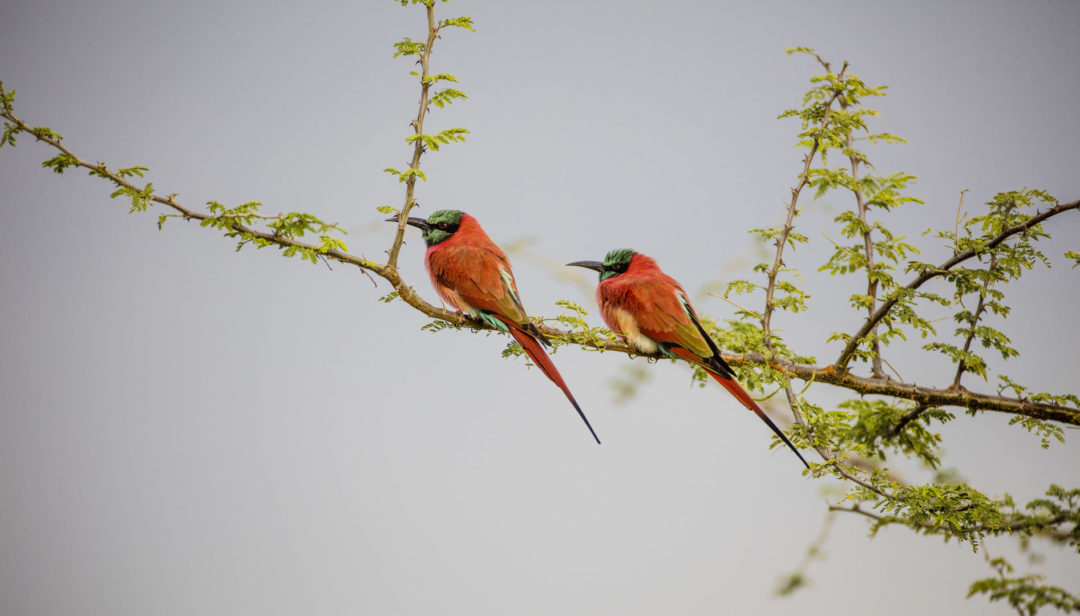 Northern Carmine Bee-Eaters 1