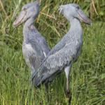 Pair Of Shoebills