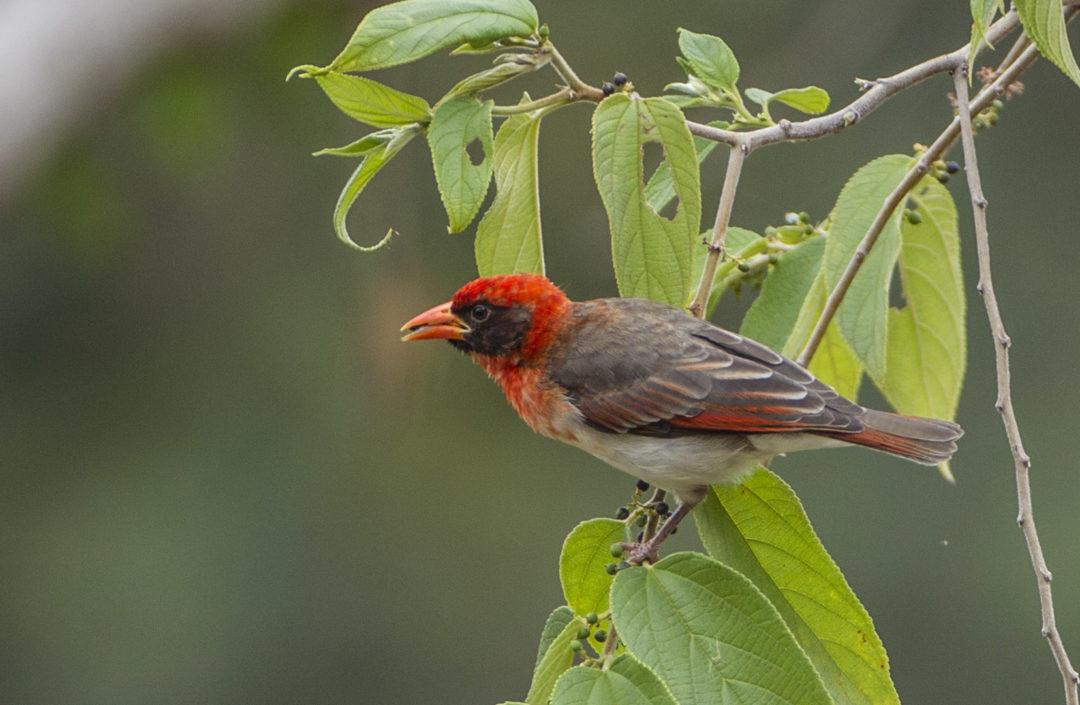 Red-Headed Weaver 1