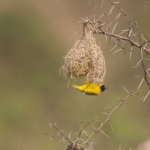 Slender-Billed Weaver