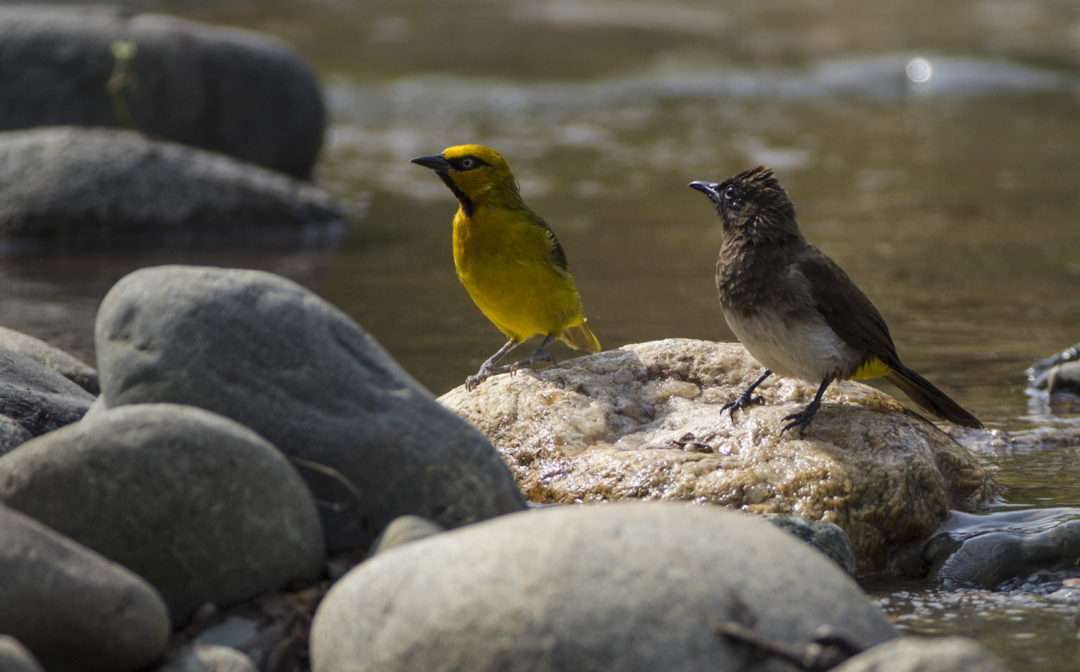 Spectacled Weaver and Common Bulbul 1