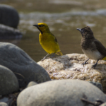 Spectacled Weaver and Common Bulbul