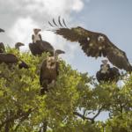 Vultures in Treetop