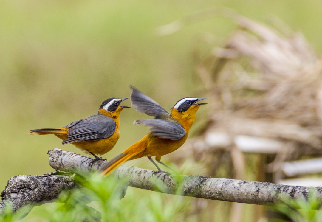 White-Browed Robin-Chats 1