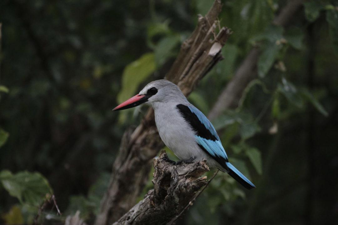 Woodland Kingfisher 1