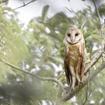 Barn Owl at Kyemihoko