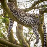 Ishasha Lounging Leopard