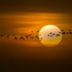 Pian Egrets