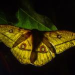 Sipi Falls Moth