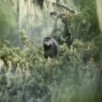 Rwenzori Blue Monkey