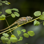Juvenile Strange-Horned Chameleon