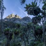 Freezing Forest of Giant Groundsel