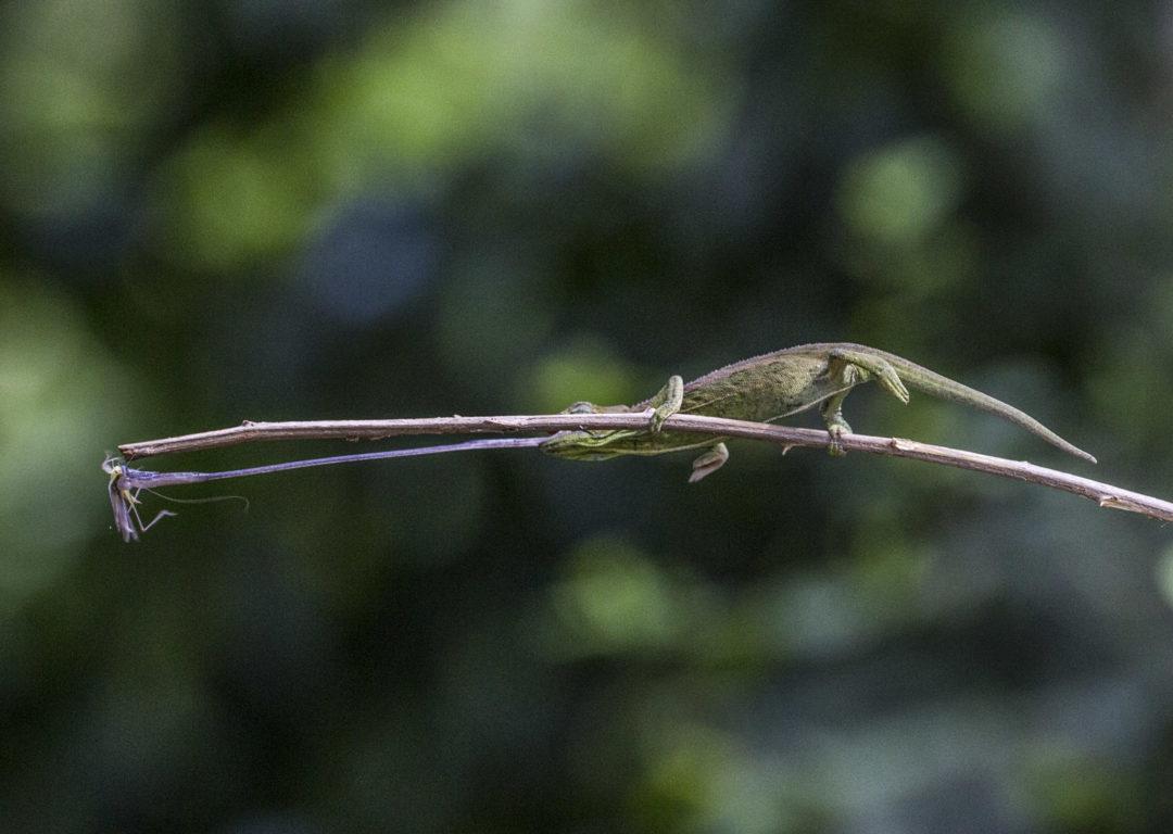 Balancing Rwenzori Side-Striped Chameleon 1