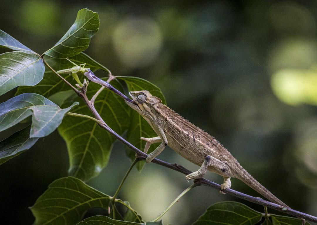 Ballistically Projecting Rwenzori Side-Striped Chameleon 1