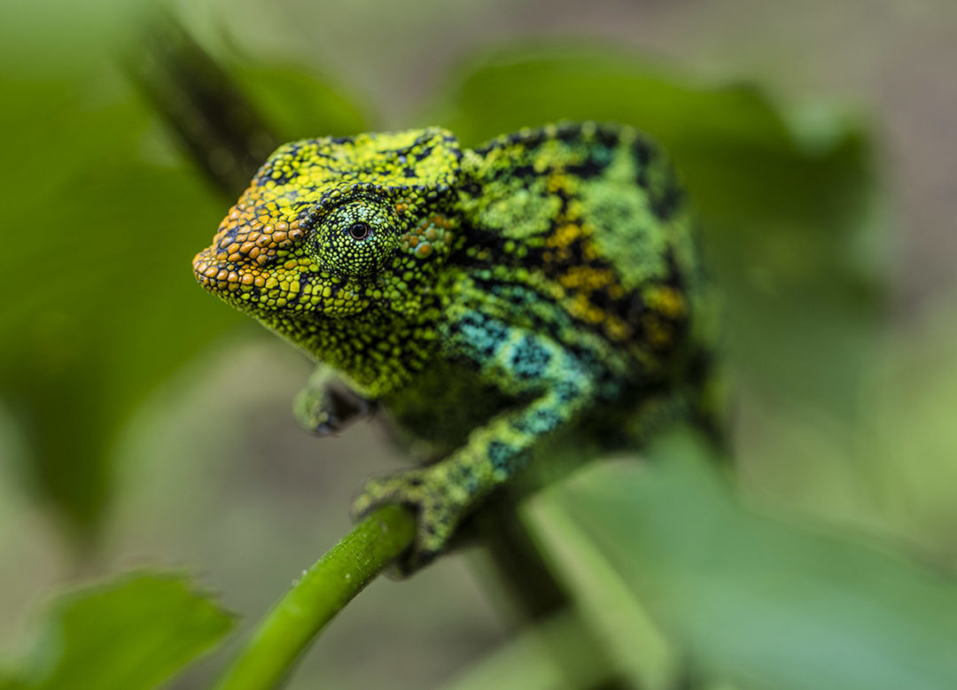 Climbing Johnston's Three-Horned Chameleon (Female) 1