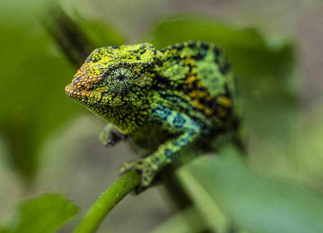 Climbing Johnston's Three-Horned Chameleon (Female) 1
