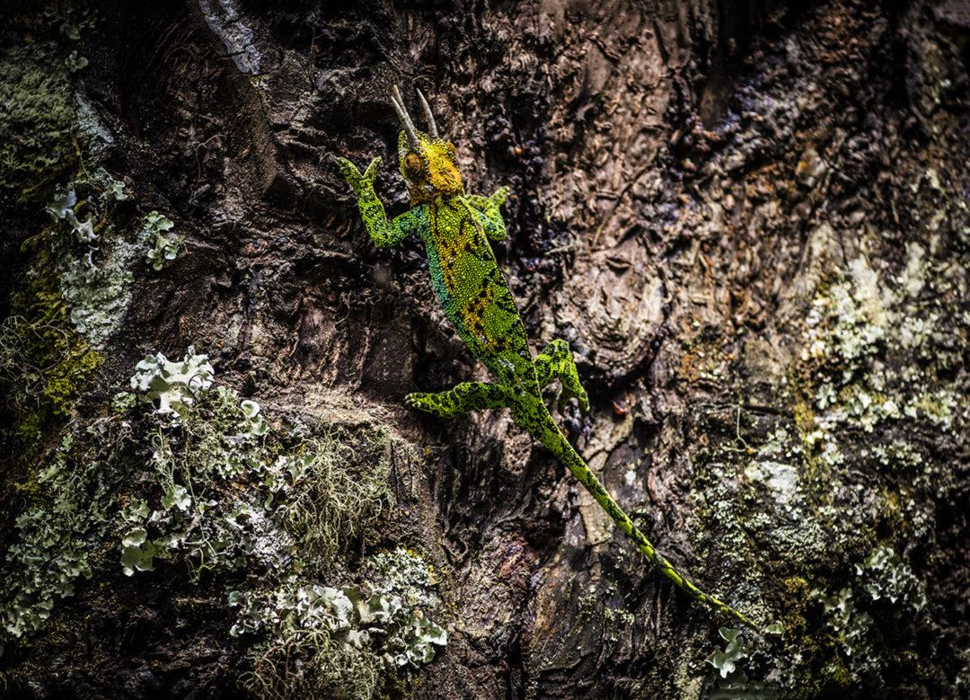 Climbing Johnston's Three-Horned Chameleon (Male) 1