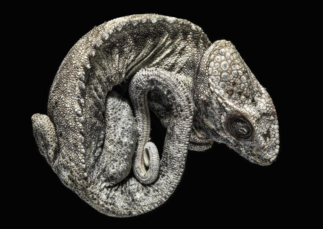 Contorted Chameleon 1