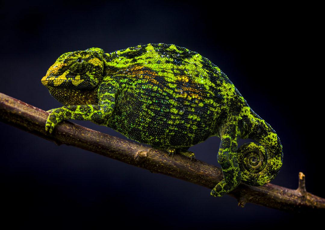 Johnston's Three-Horned Chameleon (Female) 1