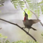 Juvenile Scarlet Chested Sunbird