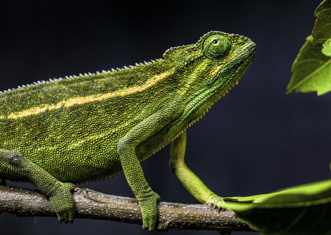 Rwenzori Montane Side-Striped Chameleon (Female) 1