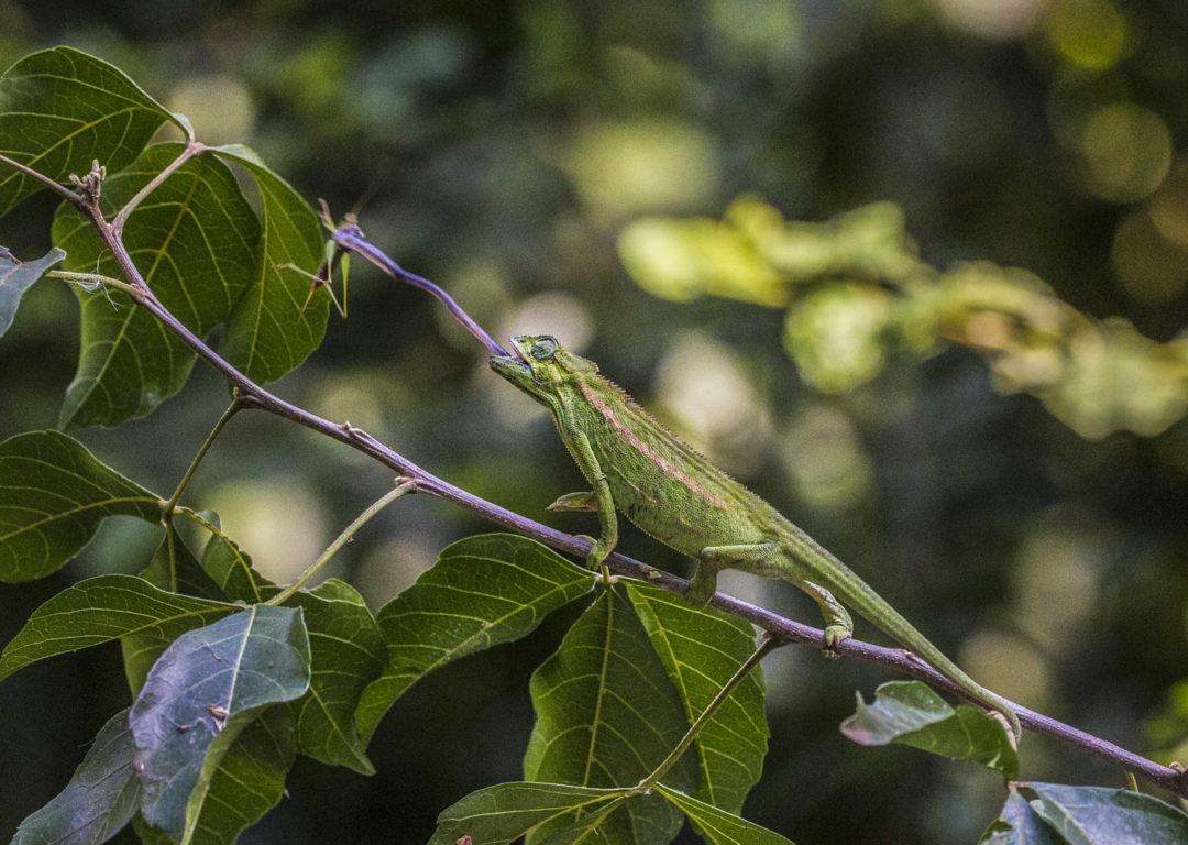 Striking Rwenzori Side-Striped Chameleon 1