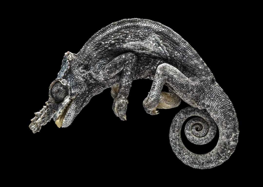 Two-Horned Chameleon 1