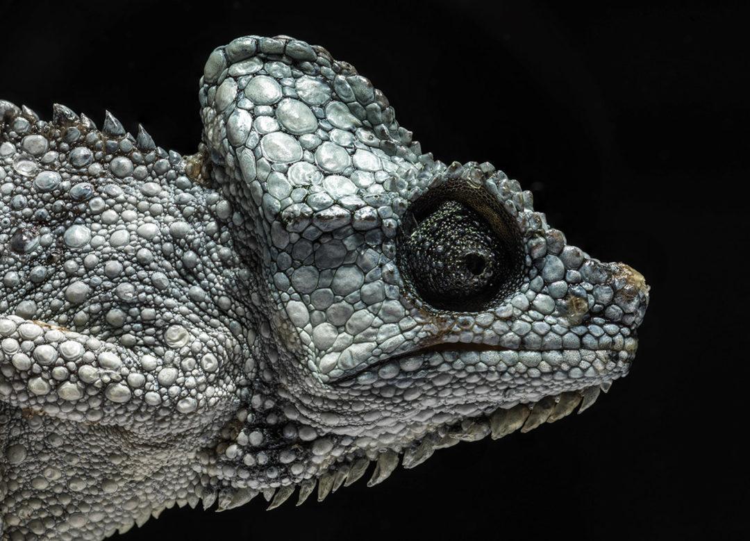 Von Höhnel's Chameleon (Detail) 1