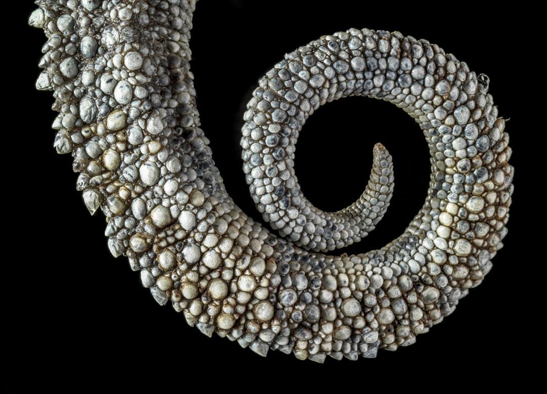 Von Höhnel's Chameleon Tail (Detail) 1