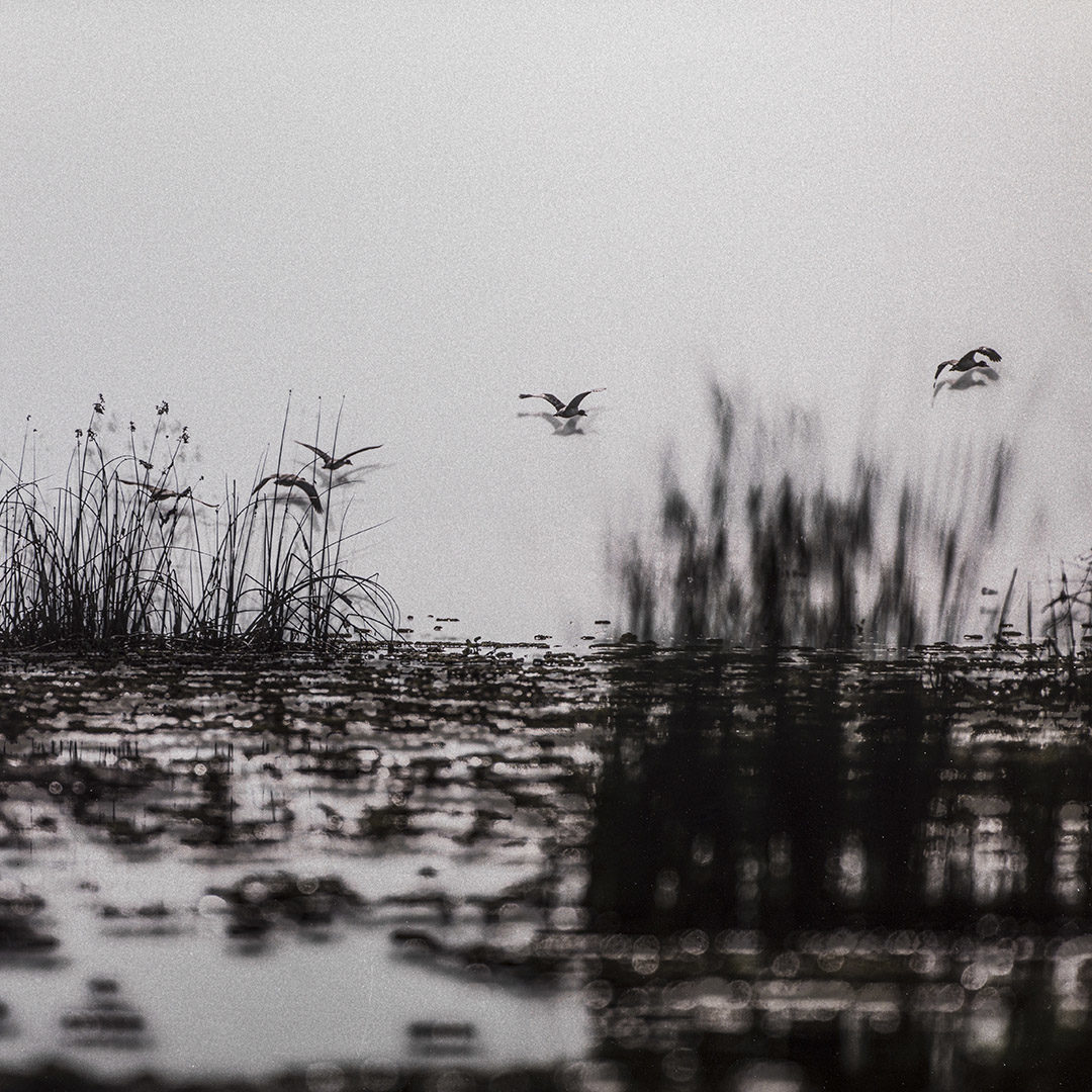 Geese over Lake Albert 1