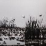 Geese over Lake Albert