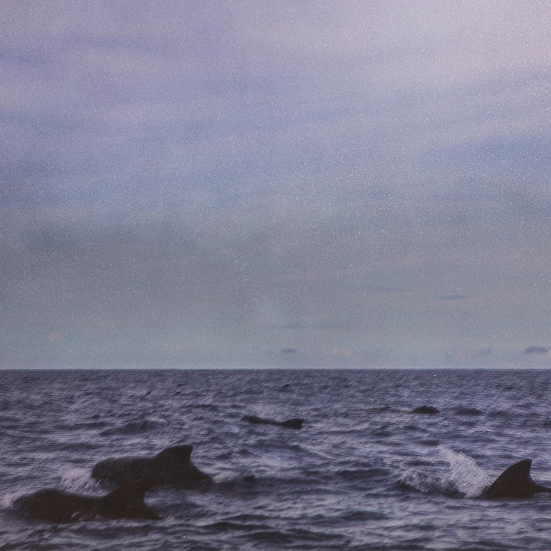 Pilot Whales 1